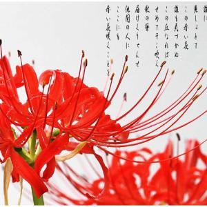 赤い花/曼殊沙華燃える