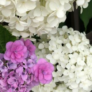 六月は紫陽花が真っ盛り