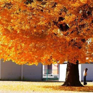 日南町の紅葉 旧日野上小学校のイチョウの木 動画有り