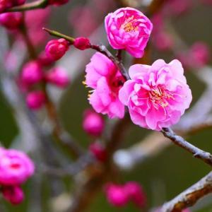 これからは梅の花