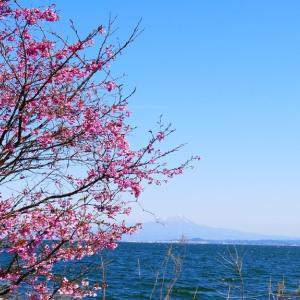 山陰の桜 3月25日撮影分