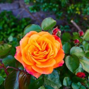 今日のアンネの薔薇 (2020.0502)