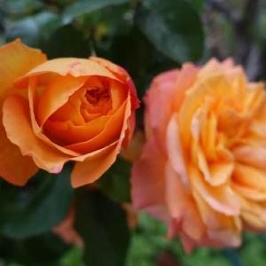 今朝のアンネの薔薇 (2020.0503)