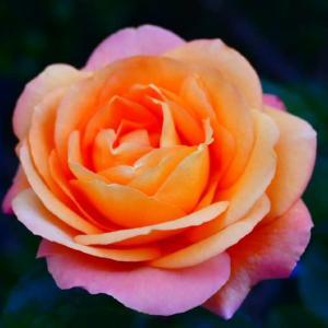 出勤前のアンネの薔薇 5月5日
