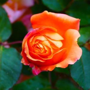 出勤前のアンネの薔薇 5月6日