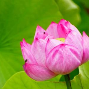 伯耆古代の丘公園の蓮の花