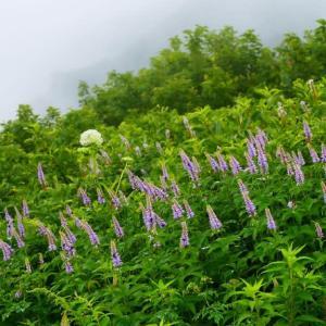 大山ユートピアお花畑へ(2020.0730)