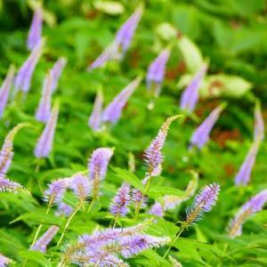 満開の大山ユートピアお花畑