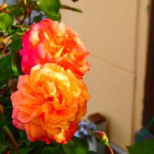 今朝のアンネの薔薇とアナグマ
