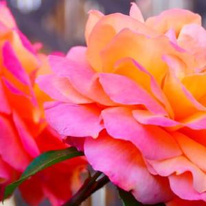 今朝のアンネの薔薇(2021.04.26)
