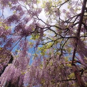 住雲寺の藤の花