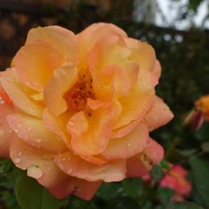 今朝のアンネの薔薇 4月29日