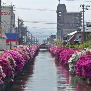 米川のつつじが満開になりました
