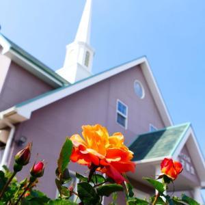米子教会のアンネの薔薇が咲きました