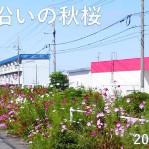 米子市米原の米川沿いのコスモスが咲きました♪ 動画有り
