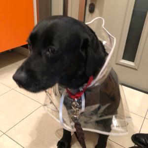 犬が膀胱炎になっちゃった 7