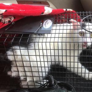 探していた白黒猫ちび!無事、保護しました!!!