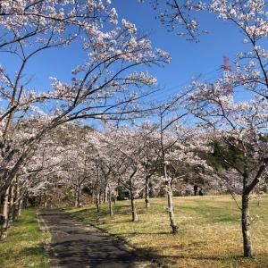 日進市総合運動公園の桜が満開
