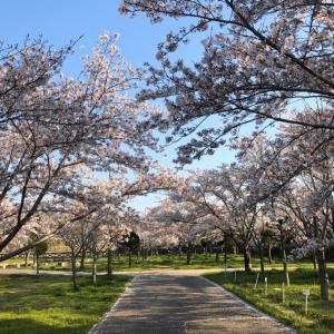 香流川砂防公園の桜が満開