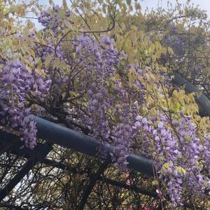 フジの花の季節