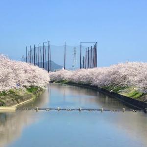 糸島池田川の🌸桜も散り始めました