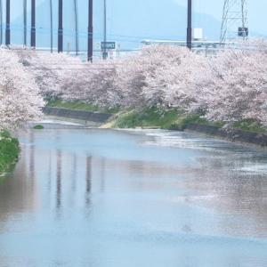さようなら👋池田川の桜🌸ありがとう🌸