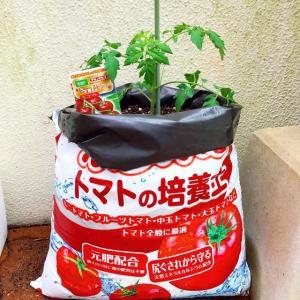 ミニトマト植えて1週間。脇芽取り