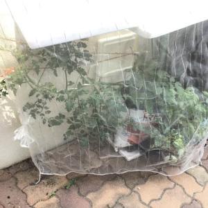 ミニトマト袋栽培28日。日除けしてみた
