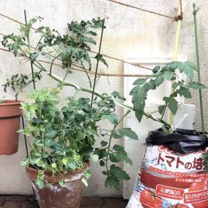 ミニトマト袋栽培33日🍅誘引は斜め誘引にしました