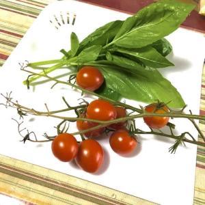 ミニトマト袋栽培🍅102日目