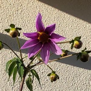 皇帝ダリアがやっと咲き始めました