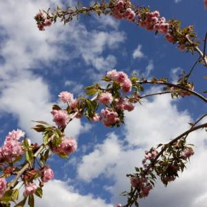 5月1日、桜の木の下で