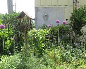 庭の宿根草・・・ギガンチュウム ホタルブクロ ユリ