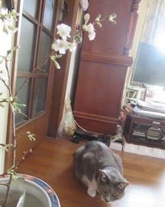 ヤブカンゾウと桜
