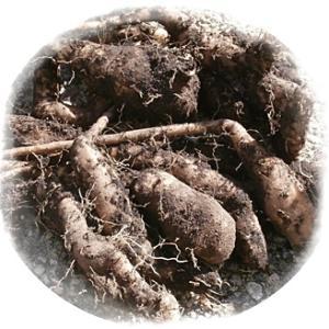 今年もやったぜベービー、自然薯を収穫! 他!