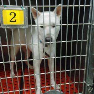 東京センター、ブリーダー放棄犬の引き取り(6/29、6/28)