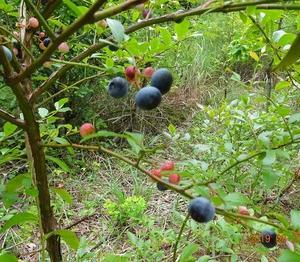 ブルーベリー収穫、ガス給湯器の不具合