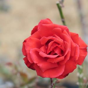 植物園のバラ2020年1月
