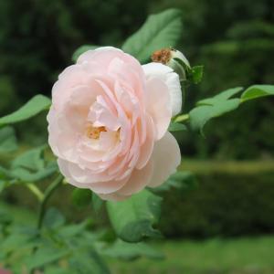 8月8日のバラ