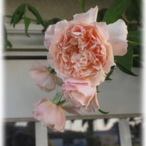 バラの深植えで良い結果 バラの予約大苗を注文しました
