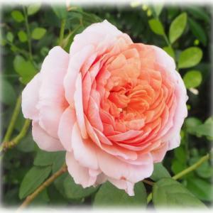 バラの無農薬栽培のブロ友さんとの思い出 アイスフォーゲル開花 寄せ植え作りました