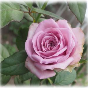 ブルーミルフィーユの秋バラ お花の名前のセンスが良すぎて買ったアナベル3種の話