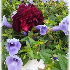 趣味のバラ栽培にはそれぞれのスタンスがある
