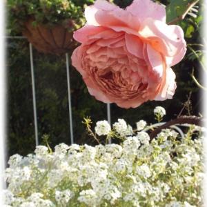 アイスフォーゲル コロンと可愛いバラ バラブログ(庭)のリンク