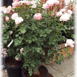 バラ シャルドネが可愛く咲きました パンジー ローヴドゥアントワネット