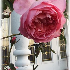 5枚くらい値下げシールが貼られていたアガパンサスが咲いてます コロンの秋バラと雨粒の秋バラ