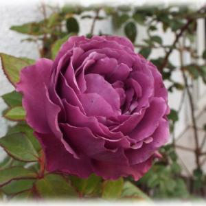 バラの芽伏せをしましたがやめました 深い赤紫のバラ