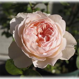 冬剪定したバラ スウィートジュリエット 可愛い冬バラ ジュリア