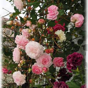 剪定したバラ ブランピエールドゥロンサール 熱く枝だけのあなたを見つめる