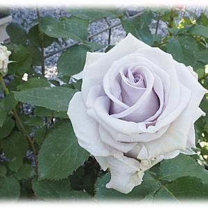 剪定したバラ やくもたつ(八雲たつ) やくもたつに新しい事実が発覚